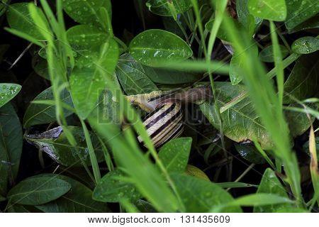 A little snail on a walk through the grass after a spring rain in the garden