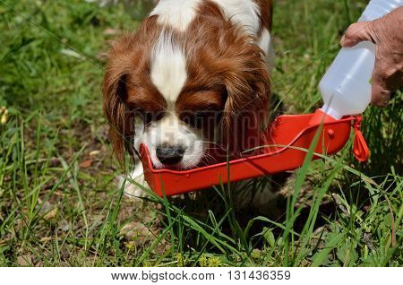 Charming Dog Cavalier King Charles Spaniel (Blenheim) drinking water from portable water dispenser