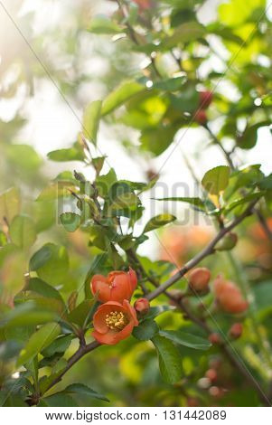 Flowers of the Japanese quince in dawn beams.