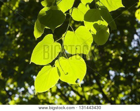 Leaves of Common Lime Tilia Europeaea tree in morning sunlight selective focus shallow DOF
