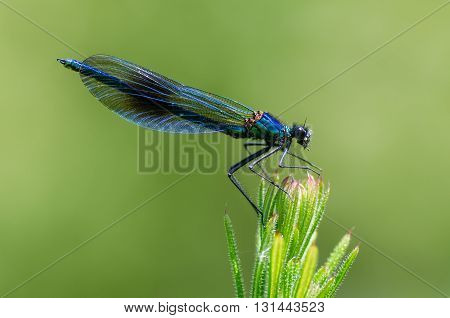 Banded demoiselle (Calopteryx splendens) male. Damselfly with dark band across centre of wings and metallic blue-green body