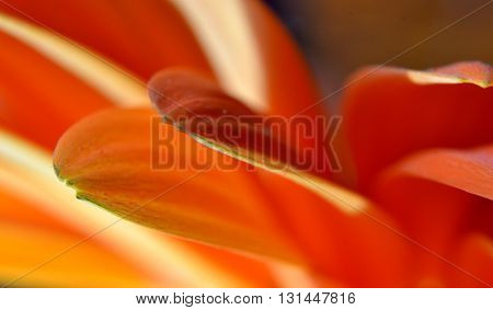 Detail of leaves of gerbera flowers, which form a harmonious alternating colors of orange and red.
