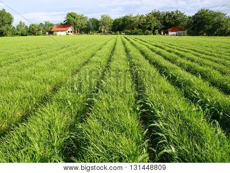 field of grasses planted in furrow for pasture