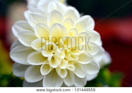 white dahlia flower growing on a bush after rainfall