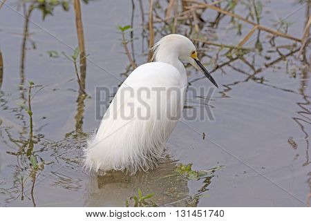 Snowy Egret Searching for Food in Elm Lake in Brazos Bend State Park in Texas