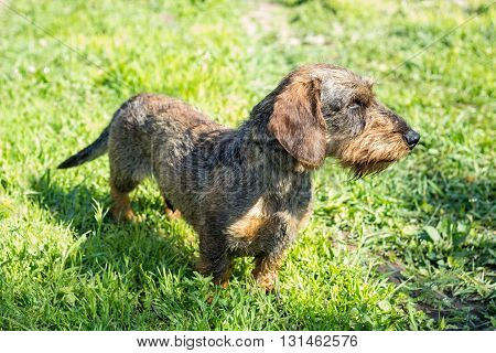 German badger-dog in the grass at sunny day