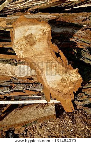 Huge crosscut slab of wood indicates two tree trunks grew together into one tree