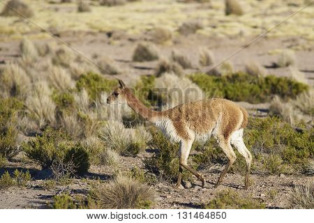 Vicuna (Vicugna vicugna) in Lauca National Park, northern Chile