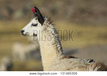 Llama (Lama glama) on the altiplano in Lauca National Park, northern Chile.