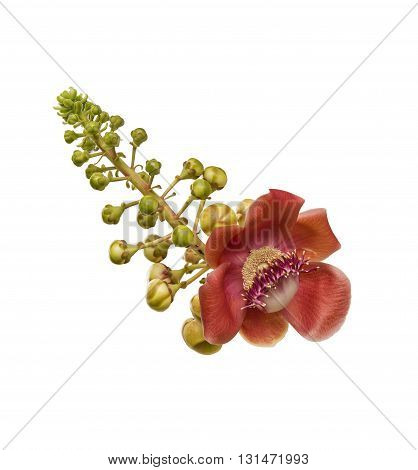 Sala or Cannon Ball Cannon Ball Tree Sal Tree Sal of India Couroupita guianensis Aubl. The plant in Buddhism history.
