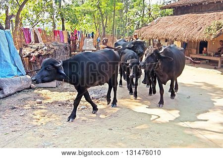 CHITWAN, NEPAL - OCTOBER 15, 2008: Bulls in the village near Chitwan National Park, Nepal. Park was established in 1973 and granted the status of a World Heritage Site in 1984