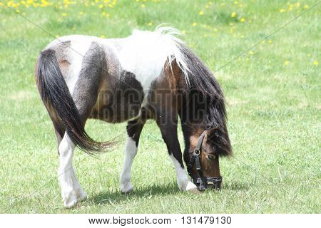Brown & White horse (Pinto) colored horse wearing a muzzle,  grazing on fresh grass in a small enclosed corral  in late spring.