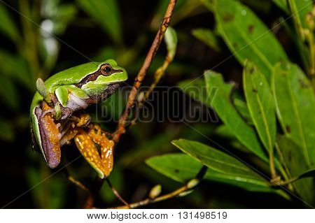 A Pine Barrens Treefrog climbing through bushes to reach a vernal pool in New Jersey.