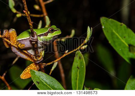 A Pine Barrens Treefrog climbing through branches to a vernal pool in New Jersey.