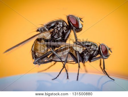 two house flies copulating on an orange background