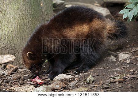 Wolverine (Gulo gulo), also known as the glutton. Wildlife animal.  poster