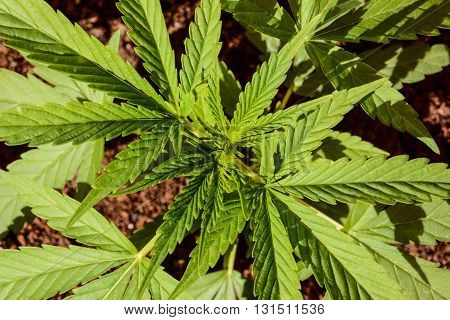 Cannabis Marijuana Leaf Plant Detail