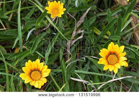 Closeup of yellow Coastal Gazania rigens (also called treasure flower) growing in Australia
