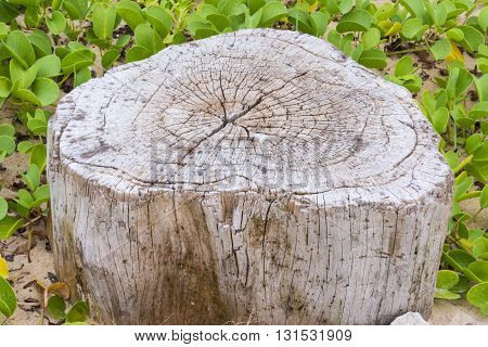 A Stump And Ipomoea Pes-caprae Plant On The Beach
