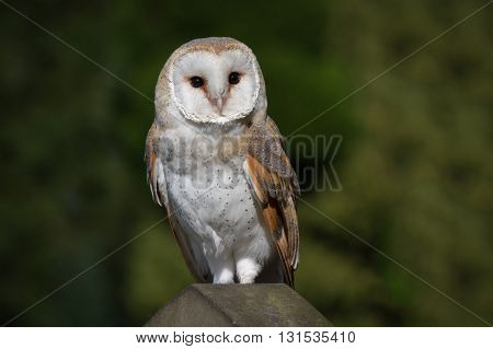 full length portrait of a solitary barn owl on a gravestone looking to right against a natural background