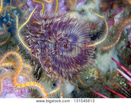 Feather Duster Worm surrounded by Spiny Brittle Stars and a Purple Sea Urchin.  The image was taken off of central California's Channel Islands.