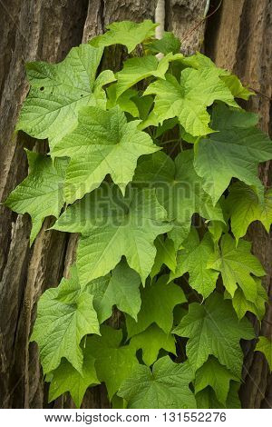Green Maple Leaf On Maple Tree  Background,vintage Style