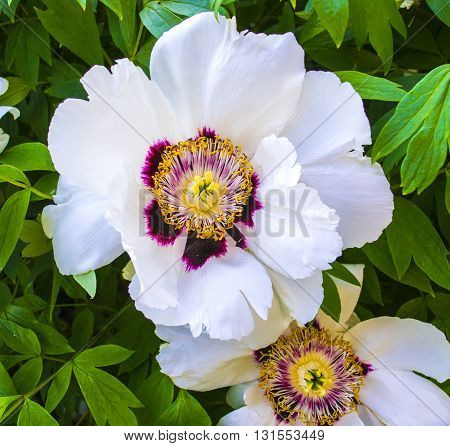 Outline Track this peony. Peonies. Blooming peony.