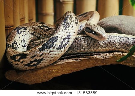 Pantherophis bairdi. Snake rests among the canes