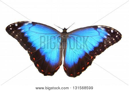 colorful blue morpho butterfly (Morpho peleides) on white background