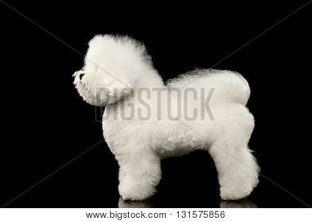 Purebred white Bichon Frise Dog Standing and Looking up isolated Black Background Side view