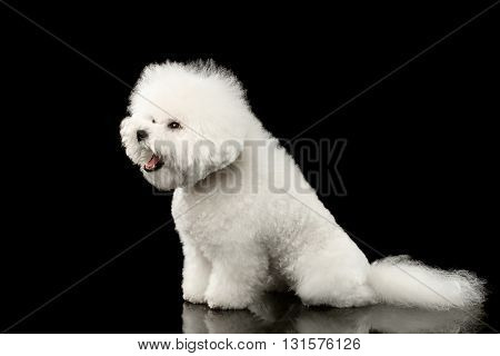 Purebred White Bichon Frise Dog Sitting Surprised with opened mouth isolated Black Background Side view