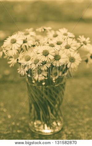 White daisy flowers in a glass blurred backgroung Aster daisy composite flower Asteraceae Compositae