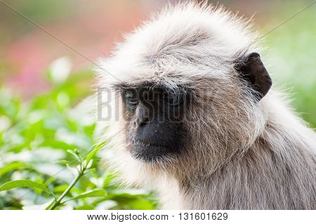 Single white monkey Langur in Orissa India