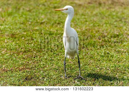 Great White Egret/Heron portrait with grass background Orissa India