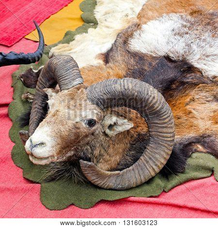 Ram Mountain Sheep Head Hunting Trophy Game