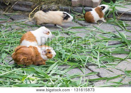 Guinea pig eating grass. guinea, pig, grass, pet, cute, animal