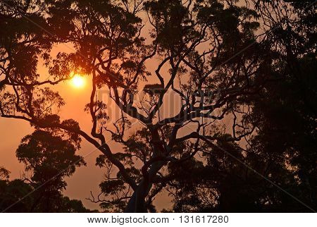 Sunset in smokey sky behind a giant gumtree in the Australian bush