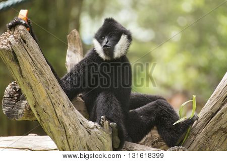 Black cheeked gibbon or Lar gibbon sitting on the tree