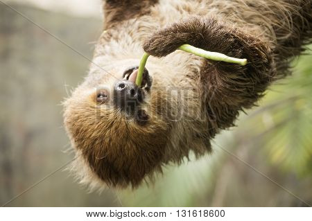 Closed up two-toed sloth on the tree eating lentils