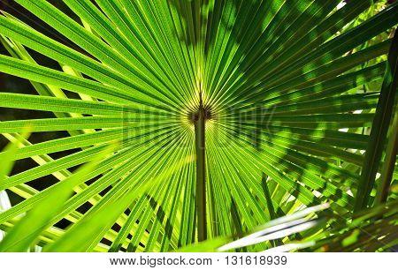 Backlit fan shaped leaves of the Australian Cabbage Tree Palm (Livistona australis)