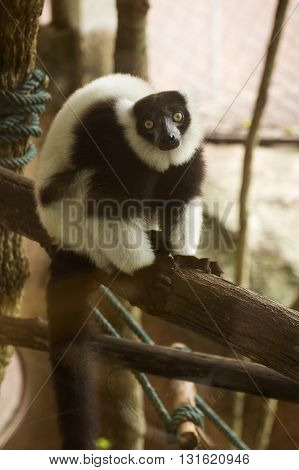 Black and white ruffed lemur on the tree