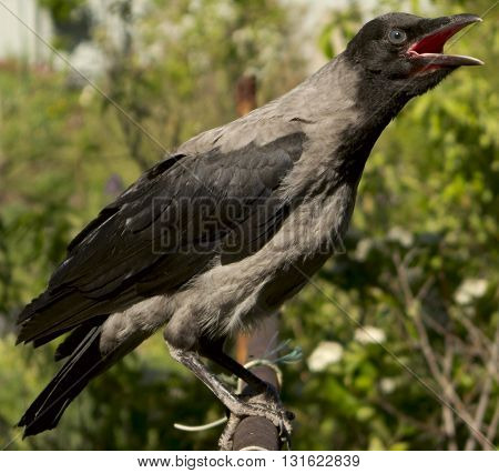 Brave, loud croaking crow sitting on a pipe