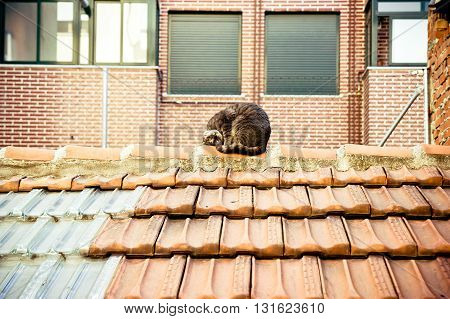 European cat playing on a tile roof