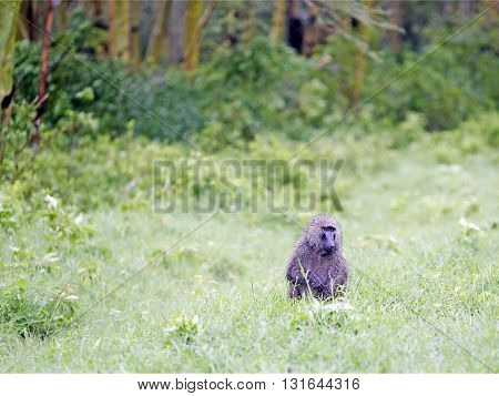 Male Olive Baboon (Papio anubis) is sits in the wet grass after rain in Maasai Mara National Park, Kenya.