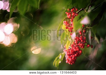Bunches of red elderberry (Sambucus racemosa) on the bush