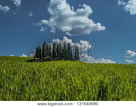 Group of cypress on the rolling hills of a green field under a blue sky in Val d'Orcia, Tuscany, Italy