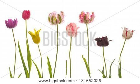 many bright beautiful varietal unusual multicolored tulips of different varieties with thin long green stems and leaves on a white background isolated
