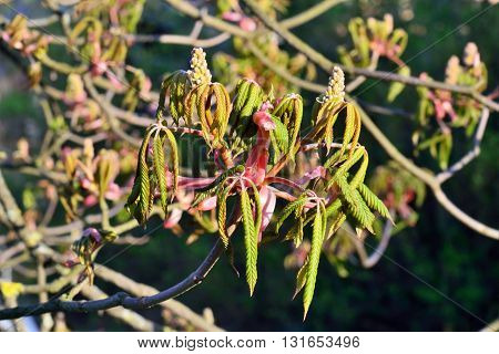 Buds and young leaves of chestnutt (lat. Castanea) closeup