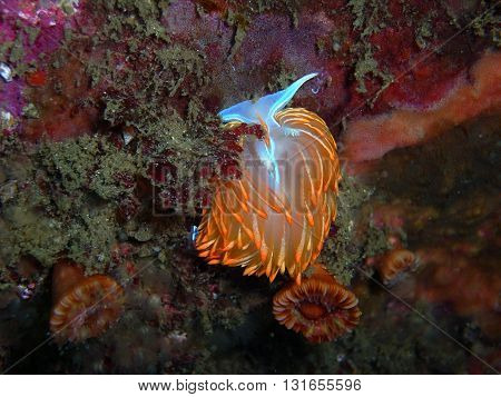Hermissenda crassicornis Nudibranch surrounded by Brown Cup Coral found off of central California's Channel Islands.