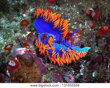 Mating Spanish Shawl nudibranchs found off of central California's Channel Islands.